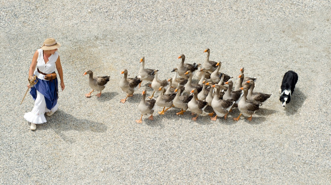 woman-with-group-of-geese-following-her